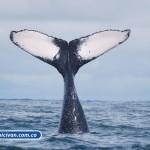 bicivan-tour-kayak-mar-bahia-malaga-juanchaco-ladrilleros-colombia-ballenas-yubarta-o-jorobadas-en-el-pacifico-colombiano